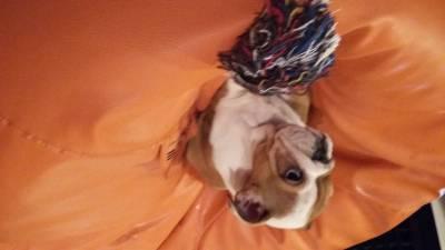 Bulldogue Inglês Com Lop e Chip