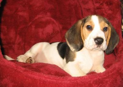 Cachorrinho beagle com dois mesinhos