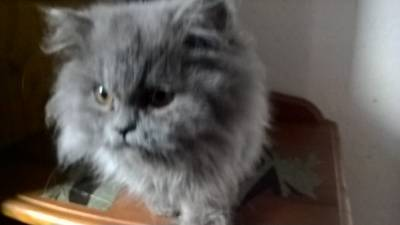 Gatos persa lindissimos