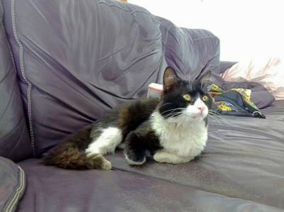 Gato perdido em Almeirim chama-se Lince