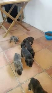 Cachorros Fila São Miguel