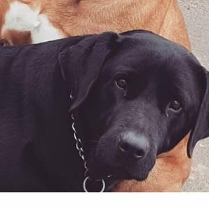 Labrador perdido Vila Natal em Óbidos