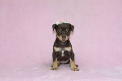 Pinscher Miniatura Chocolate