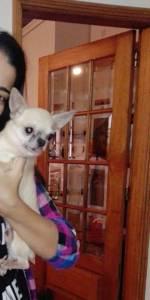 Chihuahuas pelo curto adultos