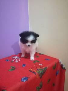Lulu da pomerania miniatura