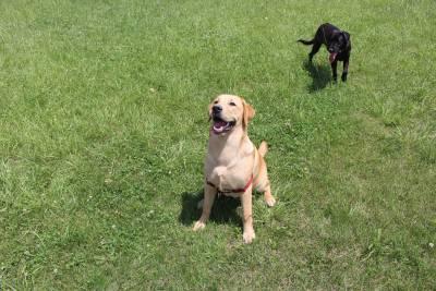 Labrador Dourado