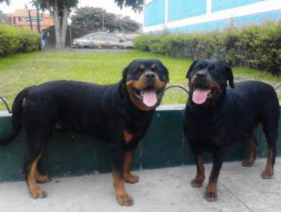 Rotteweiler