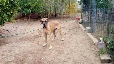 cachorro dogue alemao macho com lop