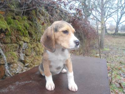 Beagle Puro