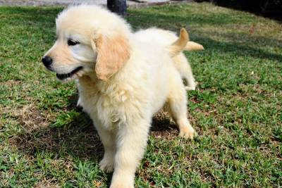 Ninhada Golden Retriever com LOP