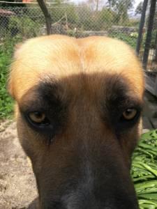 Dou Cão de grande porte para adopção