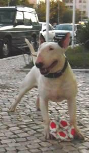Exelente bull terrier disponivel para montas