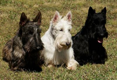 Filhotes de Scottish Terrier