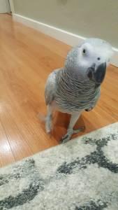 Papagaio Africano