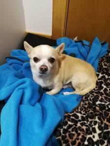 Chihuahua macho com LOP procura acasalar