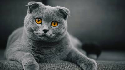 COMPRO SCOTTISH FOLD