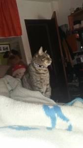 Desapareceu - Gato Cinzento com coleira azul refletora