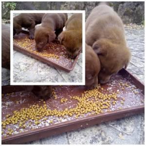 Labradores Retriever Chocolate