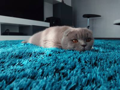 Scottish Fold Fêmea procura macho British straight