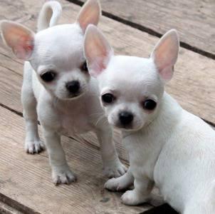 Ninhada cachorros Chihuahua