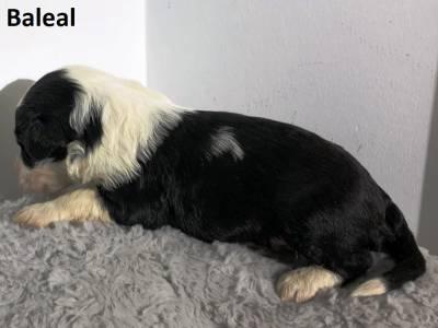 Ninhada Cão De Água Português Puros LOP - Water Dog puppy