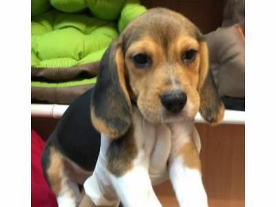 Tenho disponivel Beagle ninhada