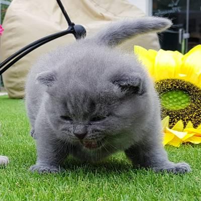 Gatinhos Azul e Lilac