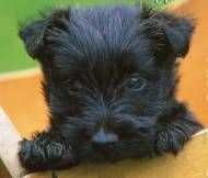 Lindos filhotes de Scottish terrier