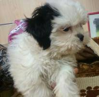 Lulu of shih tzu sale