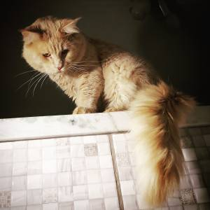 Maine Coon o maior gato do mundo com pedigree