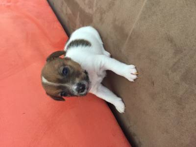 Jack Russell com LOP