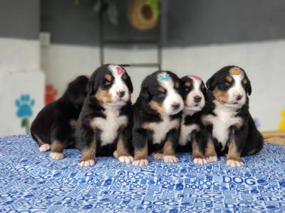 Criadores de Bernese Mountain Dog Canil Ballantine
