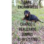 Dachshund an�es e miniaturas filhotes dispon�veis canil Enchantress