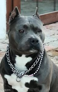 American bully pocket Razor Edge para monta