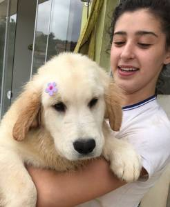 Golden Retriever English Cream - Prox a Campinas