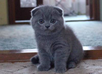 British shorthair fold e straight