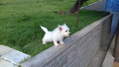 WEST HIGHLAND WHITE TERRIER FILHOTES
