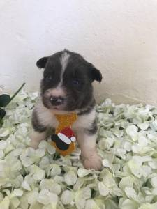 Filhotes de Border Collie com Pedigree