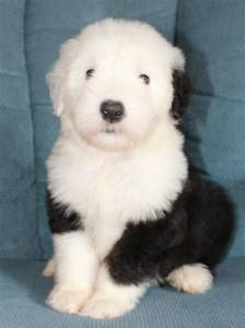 OLD ENGLISH SHEEP DOG LINDOS FILHOTES Pra Reserva