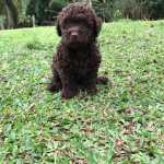 Poodle toy chocolate lindos filhotes dispon�veis