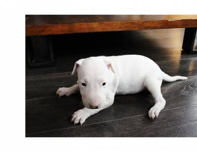 excelentes Bull terrier LOP