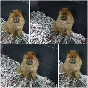 Magnifica Chow chow