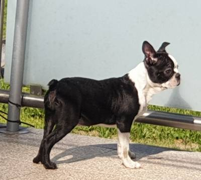 Boston Terrier top