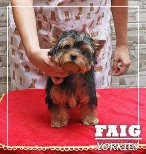 Yorkshire Terrier - Faig Yorkies
