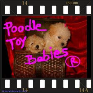 CANIL ESPECIALIZADO EM POODLES LOVPUPPIES KENNEL