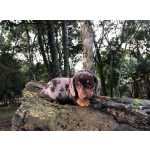 Dachshund an�es e miniaturas Canil Enchantress