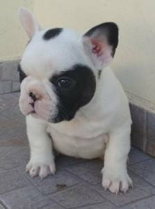 bulldog frances machos