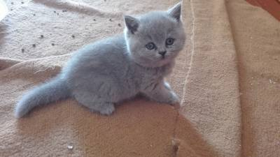 British Shorthair azul