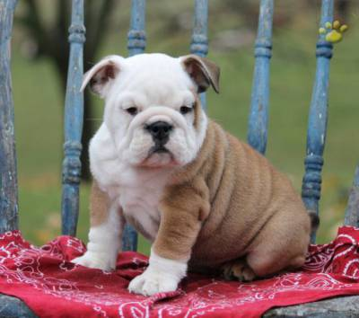 Bulldog ingles pedigree
