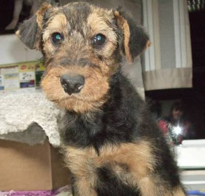 Airedale -Terrier filhotes